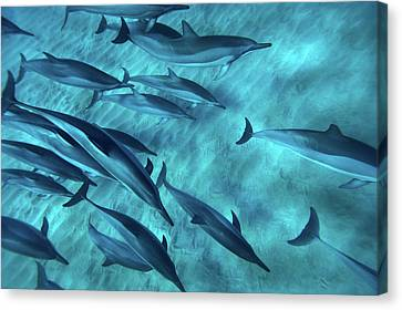 Spinner Dolphins Canvas Print by Monica and Michael Sweet