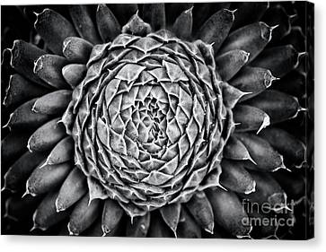 Spiny Canvas Print - Spiny Pennywort Monochrome by Tim Gainey