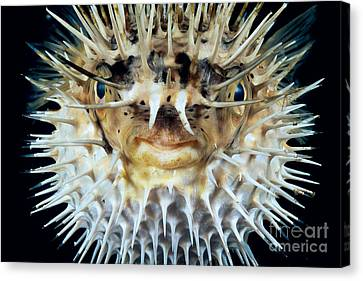 Spiny Puffer Canvas Print by Dave Fleetham - Printscapes