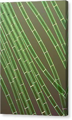 Spirogyra Algae, Light Micrograph Canvas Print by Jerzy Gubernator