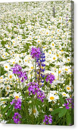 Splash Of Purple Canvas Print