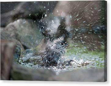 Splish Splash Canvas Print by Dan Friend