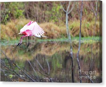 Digital Touch Canvas Print - Spoonbill Over The Pond by Carol Groenen