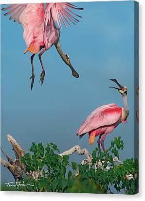 Spoonbills Greeting Canvas Print by Tim Fitzharris