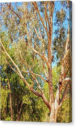 Canvas Print featuring the photograph Spot The Koala, Yanchep National Park by Dave Catley
