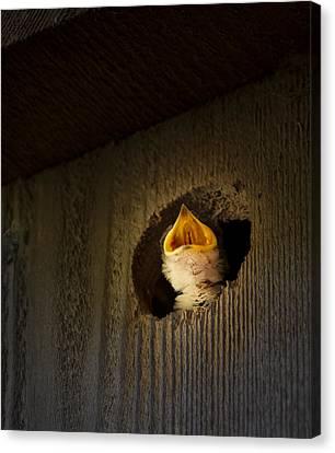 Spotlight On Baby Swallow Canvas Print by Jean Noren