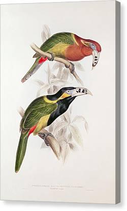 Spotted Bill Aracari Canvas Print by Edward Lear