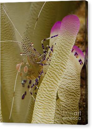 Spotted Cleaner Shrimp On Pink Tipped Canvas Print by Brent Barnes