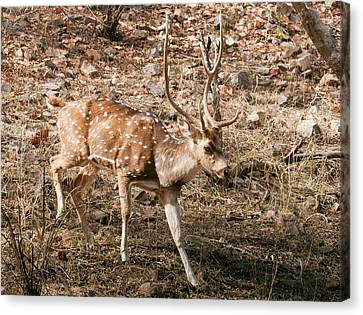 Spotted Dear Chital Canvas Print
