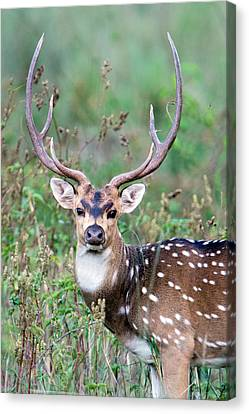 Spotted Deer Axis Axis, Kanha National Canvas Print by Panoramic Images