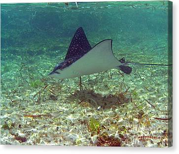 Spotted Eagle Ray Canvas Print by Li Newton