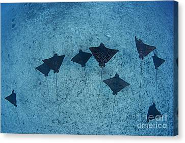 Spotted Eagle Rays Canvas Print by Dave Fleetham - Printscapes