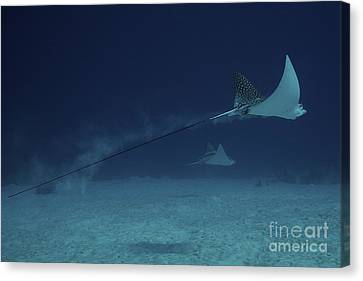 Spotted Eagle Rays Glide Effortlessly Canvas Print