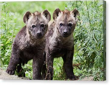 Spotted Hyena Cubs I Canvas Print