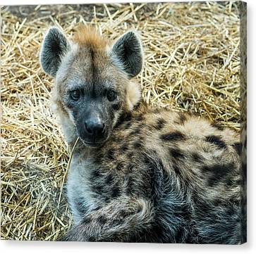 Spotted Hyena Canvas Print by Steven Ralser