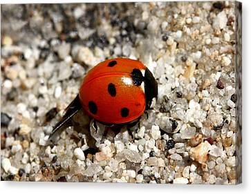 Spotted Ladybug Wings Dragging In Sand Canvas Print
