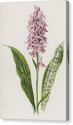 Spotted Orchis Canvas Print