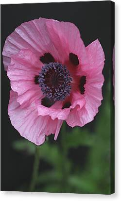 Spotted Pink Poppy Canvas Print