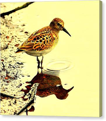 Spotted Sandpiper Canvas Print by Aron Chervin