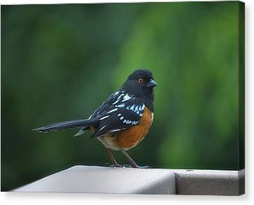 Spotted Towhee Canvas Print by Linda Dunn