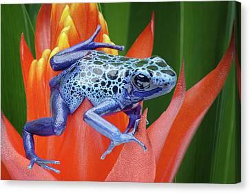 Sprawled - Poison Dart Frog Canvas Print by Nikolyn McDonald