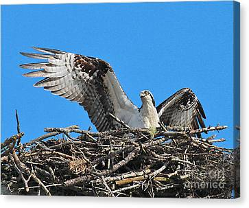Canvas Print featuring the photograph Spread-winged Osprey  by Debbie Stahre