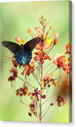 Canvas Print - Spread Your Wings At Dawn  by Saija Lehtonen