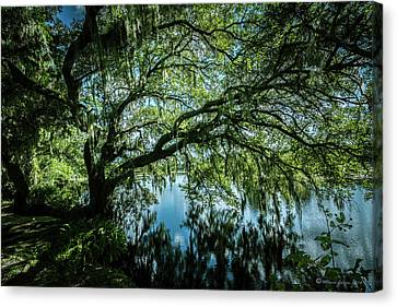 Spreading Oak Canvas Print by Marvin Spates