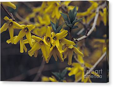 Spring 2016 8 Canvas Print by Cendrine Marrouat