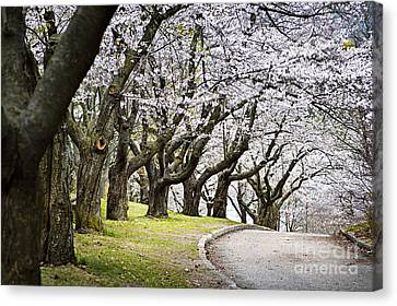 Spring Apple Orchard Canvas Print