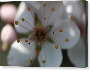Spring Beauty Macro 1 Canvas Print
