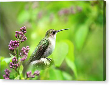 Canvas Print featuring the photograph Spring Beauty Ruby Throat Hummingbird by Christina Rollo