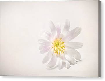 Spring Blossom Canvas Print by Scott Norris