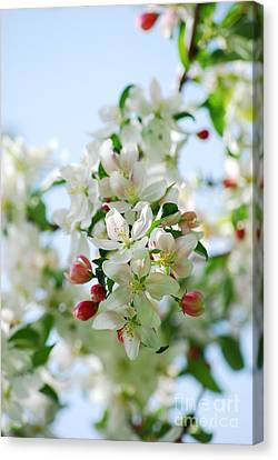 Canvas Print featuring the photograph Spring Blossoms  by Lila Fisher-Wenzel