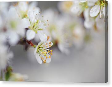 Spring Blossoms Canvas Print by Nailia Schwarz