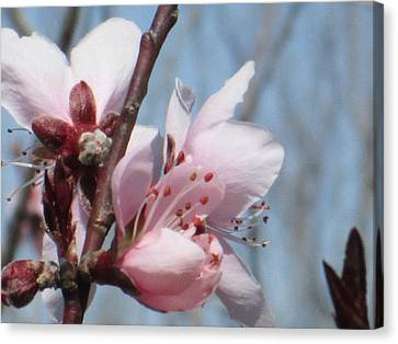 Spring Blossoms  Canvas Print by Rosalie Klidies