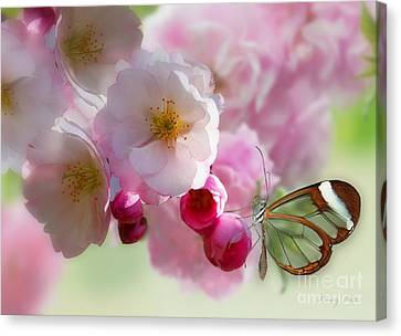 Spring Cherry Blossom Canvas Print by Morag Bates
