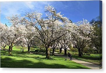 Spring Cherry Blossoms In Stanley Park Vancouver  Canvas Print by Pierre Leclerc Photography