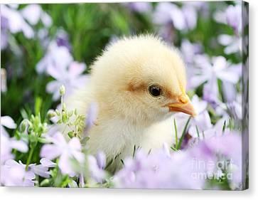 Spring Chick Canvas Print by Stephanie Frey