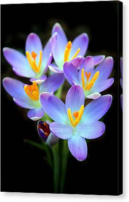 Canvas Print featuring the photograph Spring Crocus by Jessica Jenney