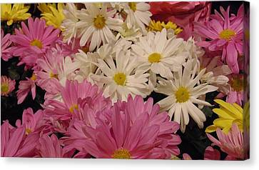Spring Daisies Canvas Print by Charlotte Gray