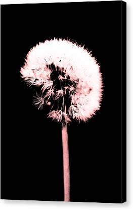 Spring Dandelion Red Tone  Canvas Print by Tommytechno Sweden