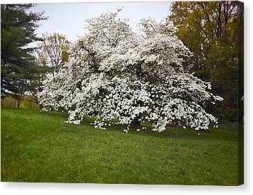 Spring Dogwood Canvas Print by Susan Isakson