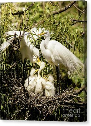 Canvas Print featuring the photograph Spring Egret Chicks by Robert Frederick