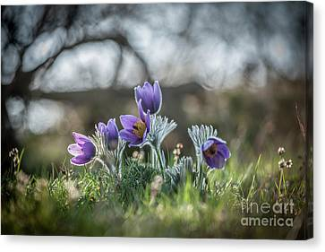 Spring Flowers Canvas Print by Rikard Strand