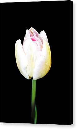 Spring Flowers Tulip  Canvas Print by Tommytechno Sweden
