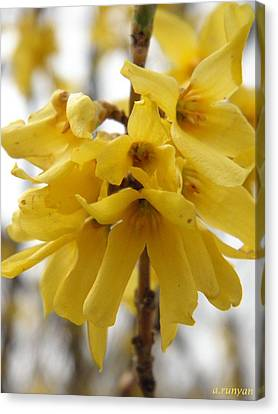 Spring Forsythia Blossoms Canvas Print by Angie Runyan