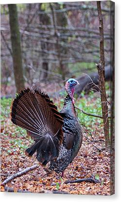 Canvas Print featuring the photograph Spring Gobbler by Bill Wakeley