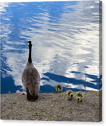 Mother Goose Canvas Print - Spring Goslings And Mother Goose by Daniel Hagerman