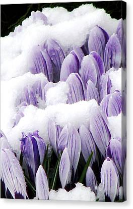 Spring In Hiding Canvas Print by Angela Davies